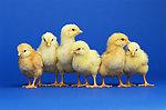 花果山养殖优惠的昆明鸡苗出售,云南纯种高脚土鸡找哪家