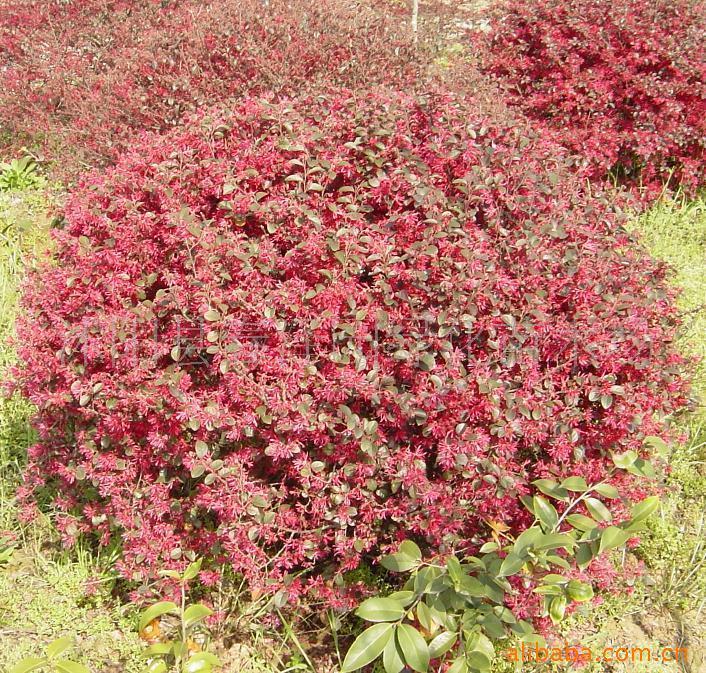 红叶小檗球,泰山果树绿化苗木专业合作社