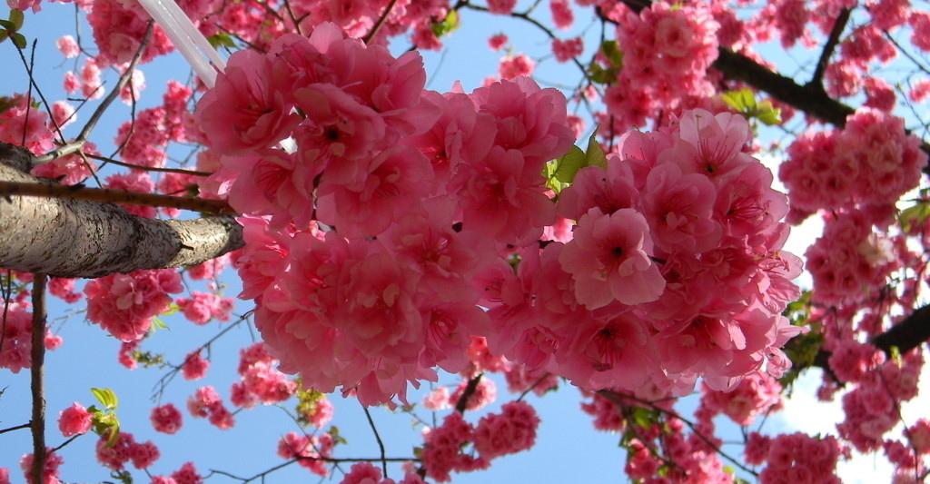碧桃和樱花的区别