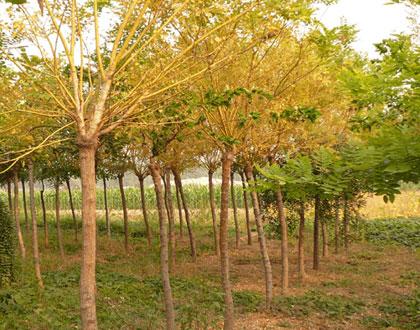 俊良园林基地供应价位合理的黄金槐,嫁接黄金槐树苗