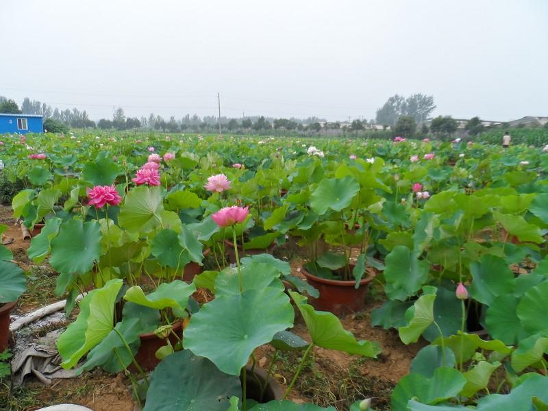 盆栽荷花 盆栽荷花种苗   产品网