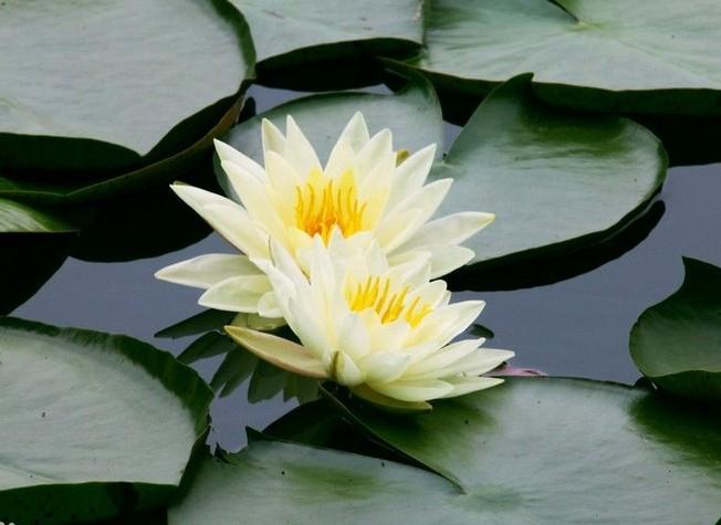 水生花卉-睡莲,子午莲,水芹花