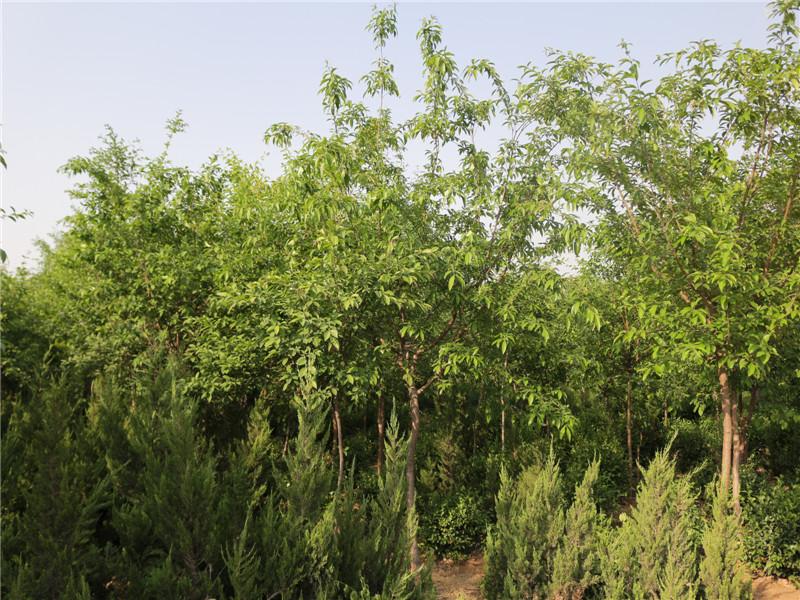 优质流苏树供应山东绿化苗木供应淄博园林景观工程