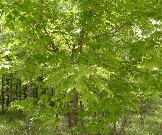 俊良园林基地供应价位合理的五角枫,6公分五角枫