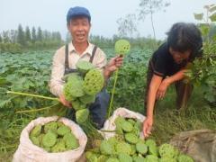 济南莲藕种植与泥鳅混养基地,质优价廉,好吃又好看,