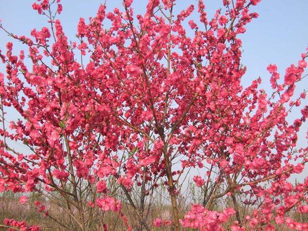 红叶果树图片大全