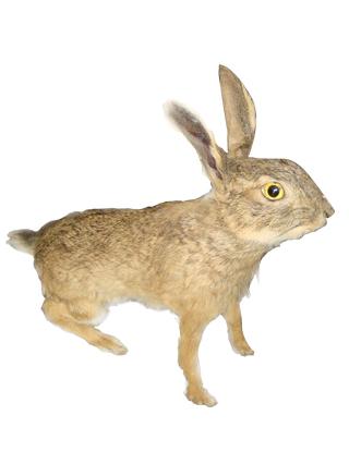 野兔标本价格超低——山东低价野兔标本供应