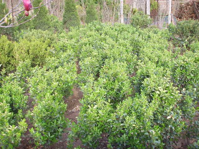绿化苗木价格