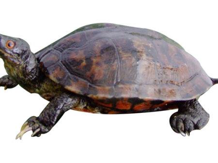 长寿龟动物bwin安卓