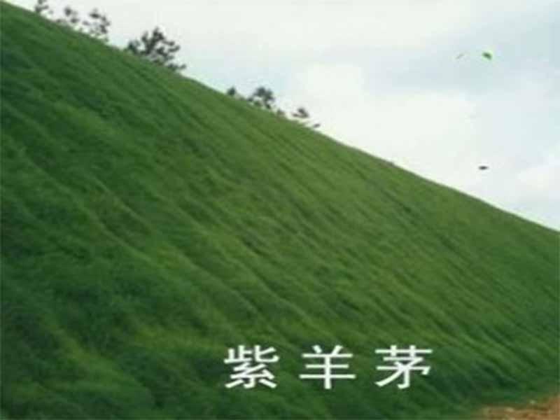 草坪種子專賣代理加盟_大量供應銷量好的紫羊茅