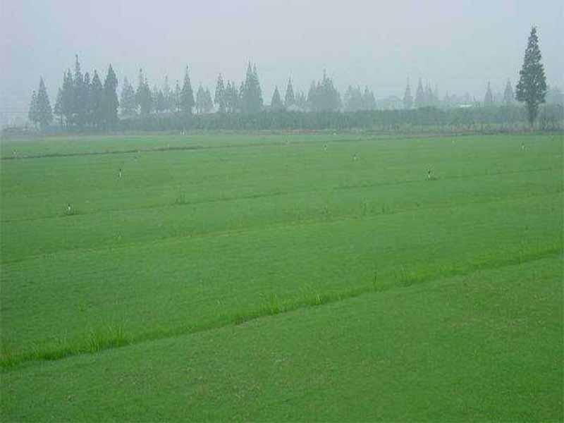 昌平草坪种子-优惠的防尘草种郑州哪里有