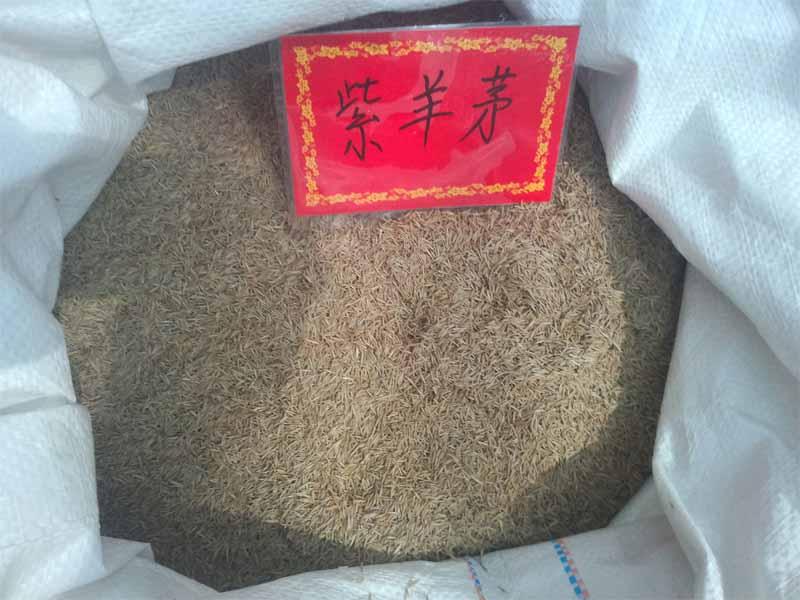 郑州草坪种子专卖 草坪种子紫羊茅专业批发