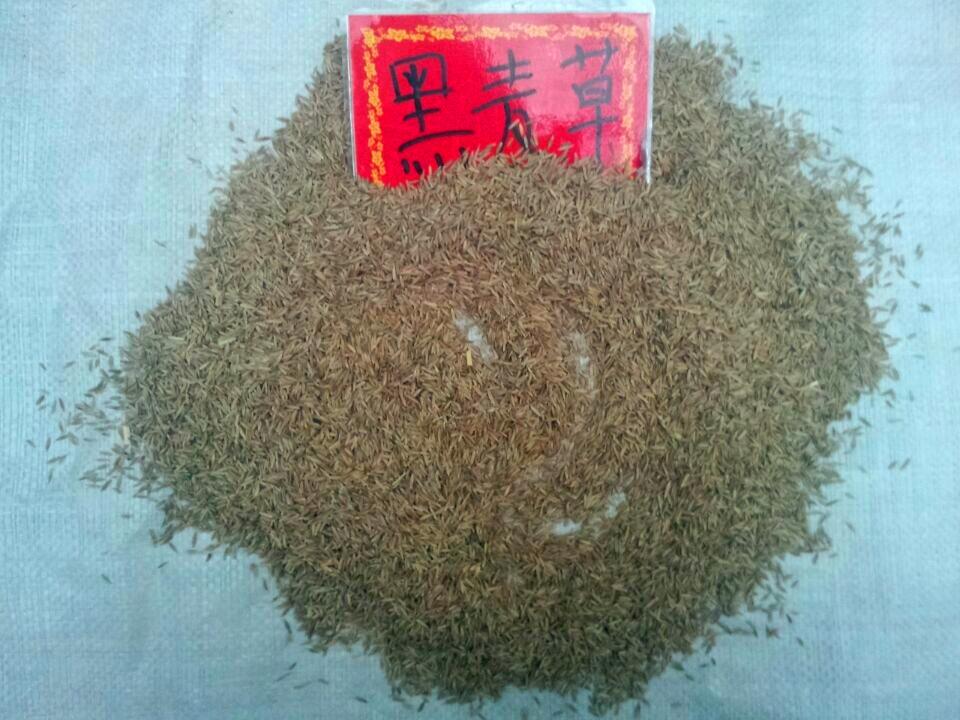 郑州兴盛园林草坪种子 黑麦草专业供应