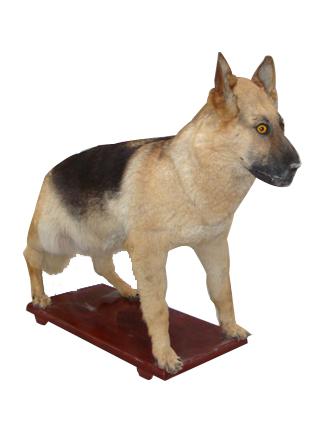 警犬动物标本