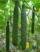 山东黄瓜种子供应商——潍坊黄瓜种子