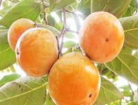 柿子苗-高产柿子苗