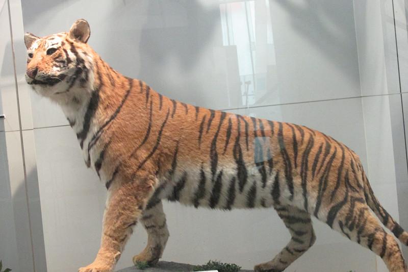 仿真老虎动物标本