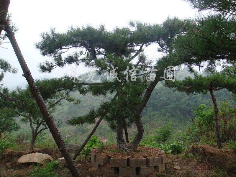 供应山东无病虫害的造型黑松|广东造型黑松