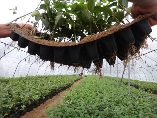矮化樱桃树苗:价格合理的吉塞拉樱桃小苗推荐