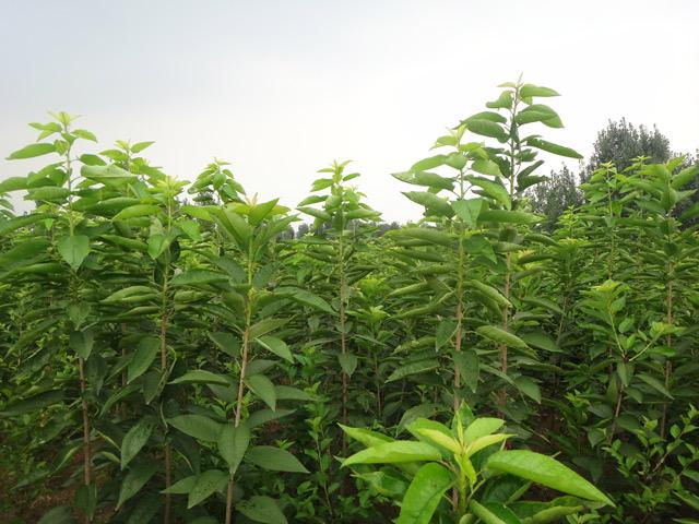 吉塞拉矮化樱桃苗找盛林苗木 樱桃苗基地
