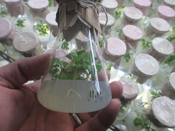 专业的美国红枫组培苗供应商就在泰安,美国红枫秋火焰小苗