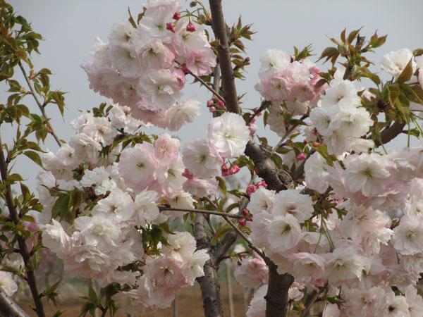 如何鉴别优质樱花树苗-关山樱化肥辨别简易方法