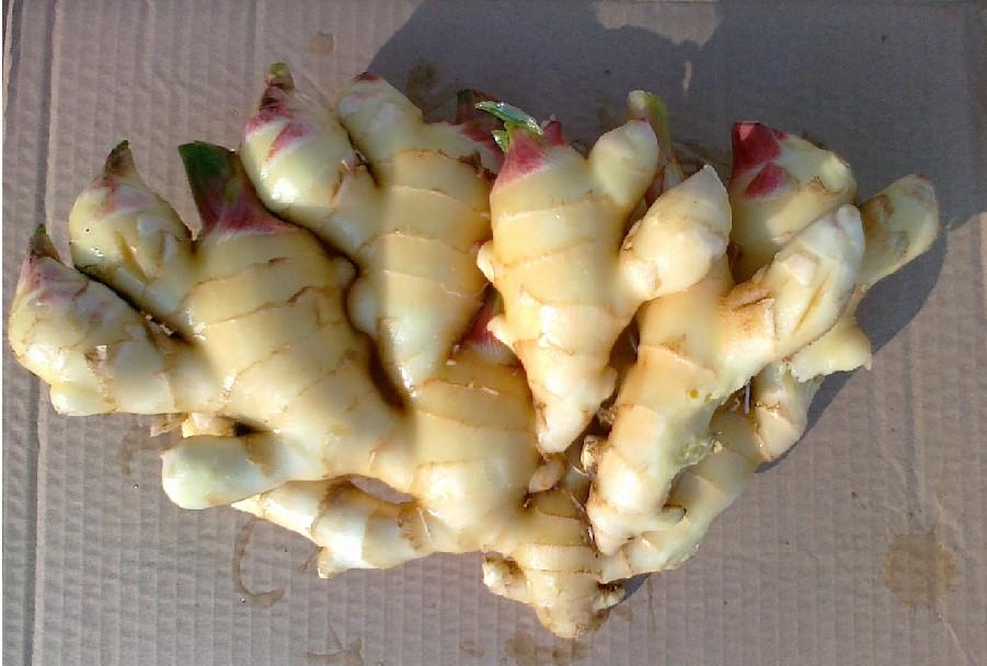 嫩姜种子供应