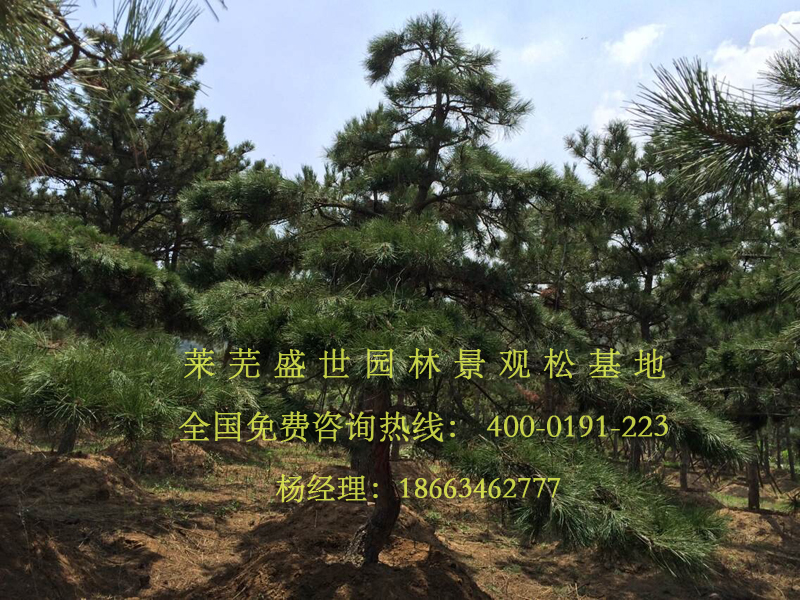 山东省莱芜市盛世园林景观松基地