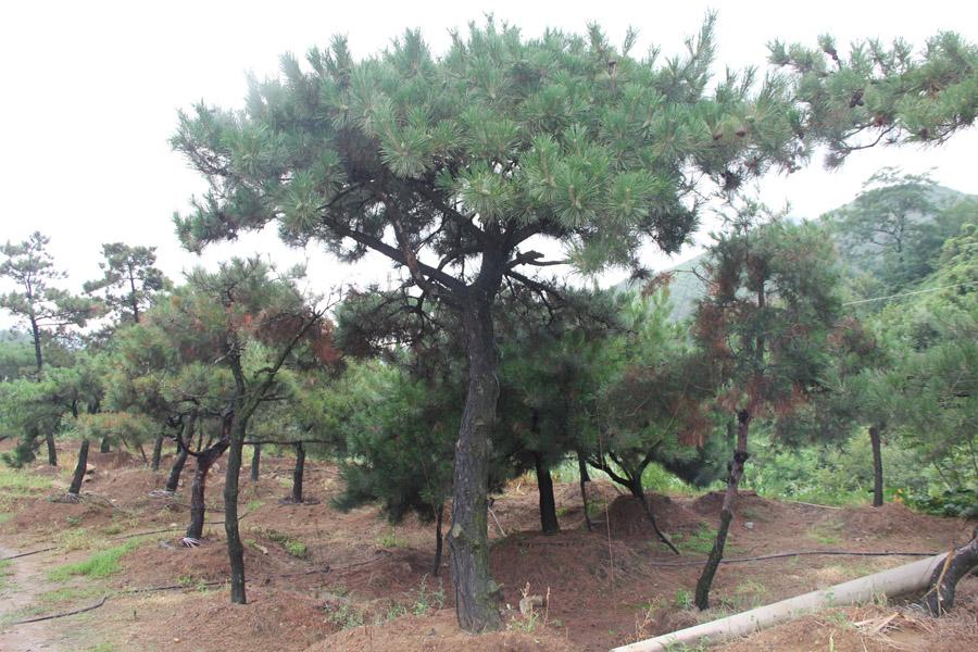 松树的种植方法