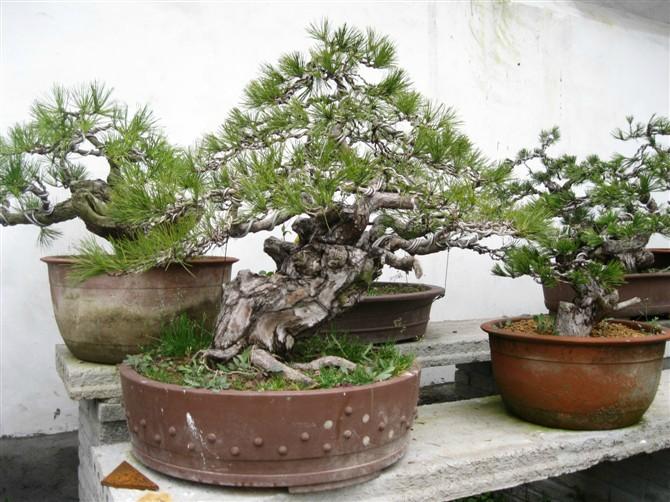 造型黑松盆景|观赏造型油松图片|山东造型迎客松树