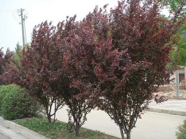 2-4公分紫叶李小苗