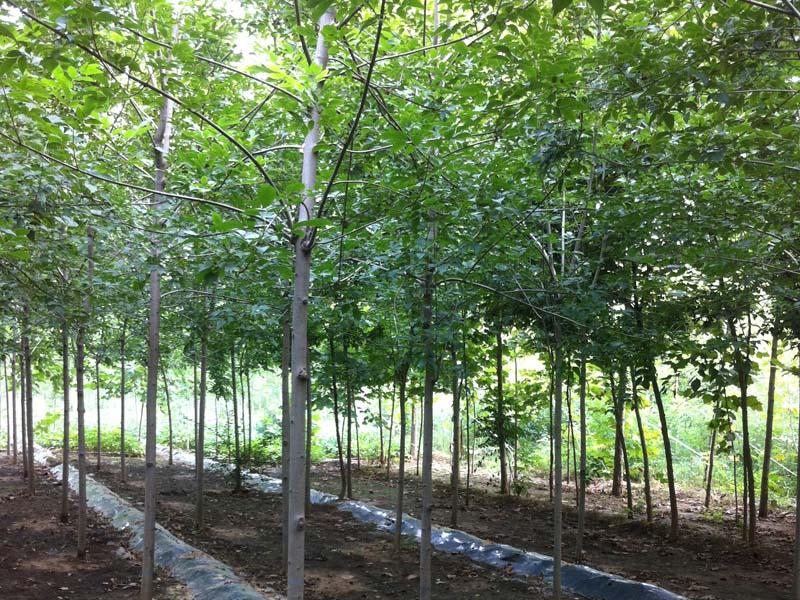 白蜡|速生白蜡-山东万亩苗木培育基地