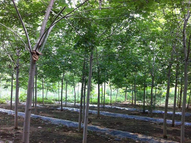 速生白蜡当选万亩苗木 哪里有速生白蜡|推荐产品-山东万亩苗木培育基地