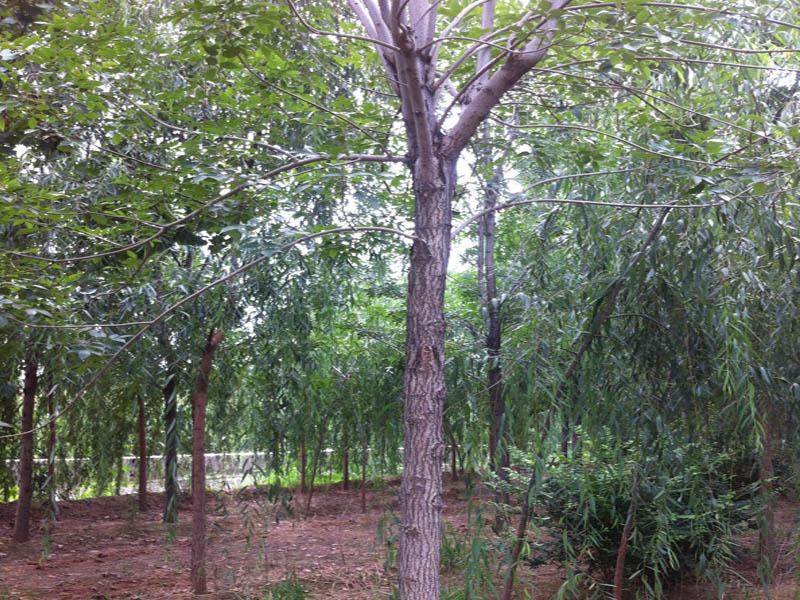 5-6公分白蜡 速生白蜡-山东万亩苗木培育基地
