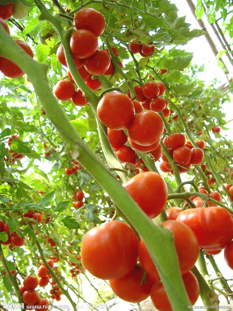 西红柿种子批发市场|供应西红柿种子供应