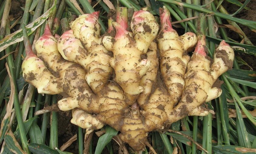大姜种子-鲜姜种子