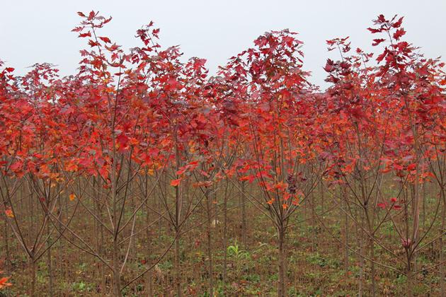 美國紅楓秋火焰價格量大從優 美國紅楓秋火焰價格