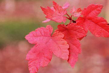銷量好的美國紅點紅楓出售 10公分美國紅點紅楓