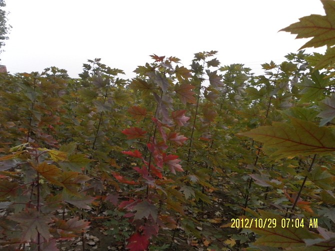 好的秋火焰紅楓于臣苗木供應——3公分秋火焰紅楓