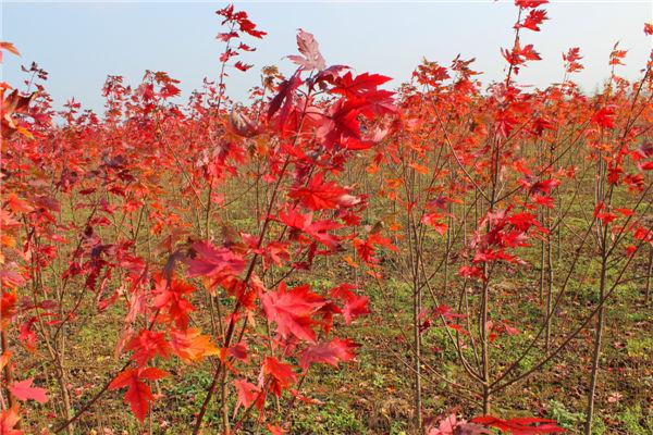 名聲好的美國紅點紅楓供應商推薦 天津美國紅點紅楓小苗