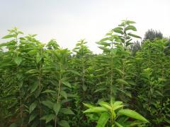 泰安盛林供应【自家地里】【吉塞拉】占木大樱桃苗