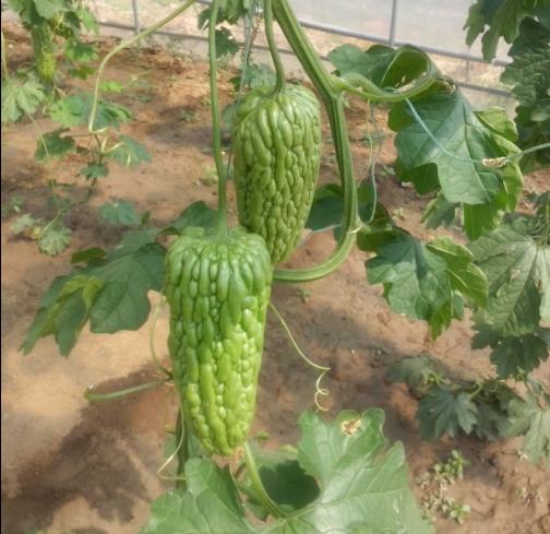 供应潍坊优质的进口苦瓜种子,苦瓜种子批发商