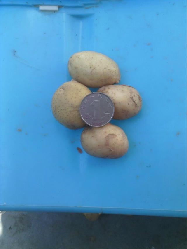 供应硬币大小小土豆,滕州小土豆批发供应 迷你小土豆
