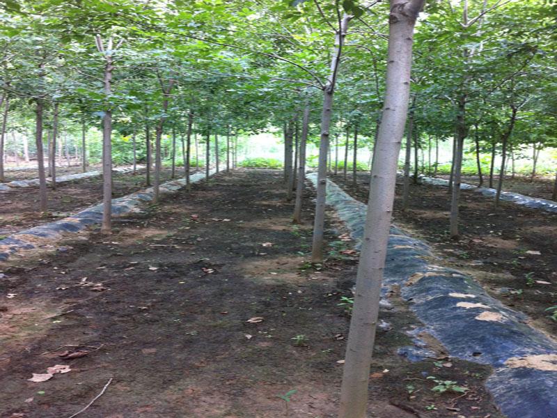 速生白蜡树苗|速生白蜡-山东万亩苗木培育基地