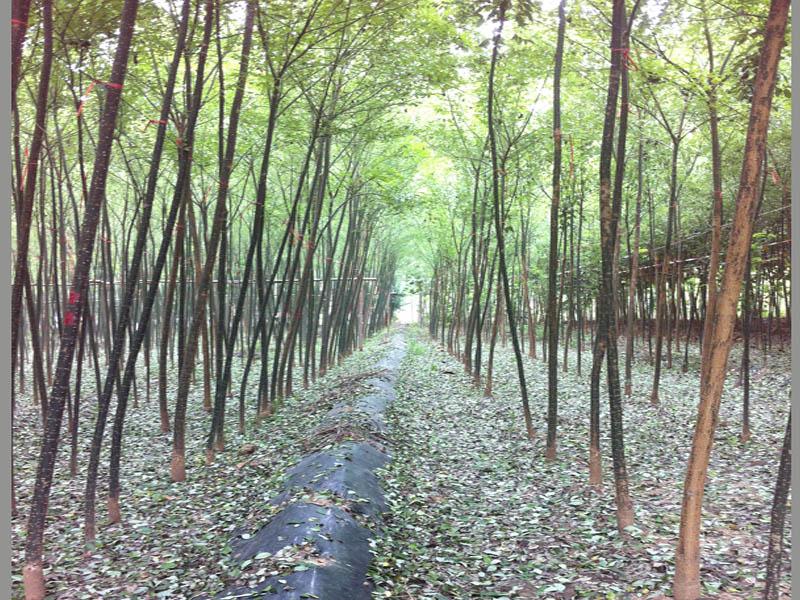 国槐树|国槐树-山东万亩苗木培育基地