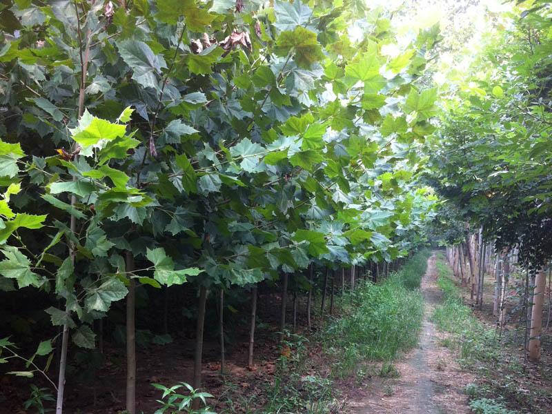 5公分法桐小苗|速生法桐-山东万亩苗木培育基地