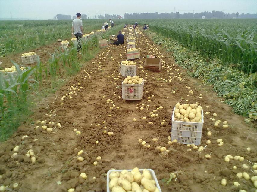 枣庄信誉好的迷你小土豆供应商:迷你小土豆种植价位