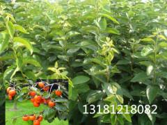价格合理的柿子树苗价格 供应山东质量好的柿子树苗
