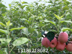 鑫诚苗木供应价位合理的美国八号苹果苗_郑州美国八号苹果苗