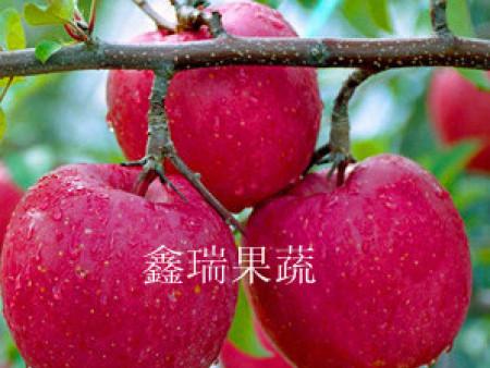 山东苹果苗木